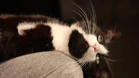 Vientre de caricia de la persona del gatito lindo gato que duerme en las piernas mientras que dueño femenino que lo acaricia ence metrajes