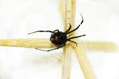Vientre de una araña de la viuda negra Fotografía de archivo libre de regalías
