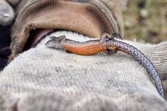 Vientre del lagarto soñoliento a mano con la naranja del primer del guante fotografía de archivo