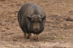 Vientre grande en el cerdo de la barriga foto de archivo libre de regalías