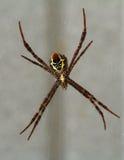 Vientre inferior de la araña Foto de archivo libre de regalías