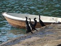 Vier aalscholvers die op taxi-boot bestuurder wachten stock foto's