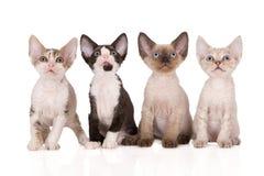 Vier aanbiddelijke katjes die van Devon rex op wit stellen Stock Foto's