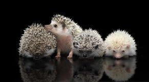 Vier Afrikaanse Egels zijn in donkere studio één omhoog kijkend Stock Fotografie