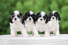 Vier Amerikaanse cocker-spaniëlpuppy in openlucht Stock Foto's