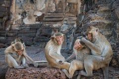 Vier apen die elkaar verzorgen Stock Afbeeldingen