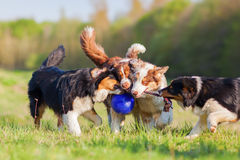 Vier Australische Herdershonden die voor een bal vechten Stock Foto