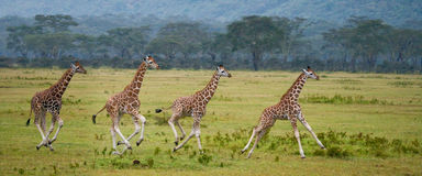 Vier babygiraf die over de savanne lopen Close-up kenia tanzania 5 maart 2009 royalty-vrije stock foto