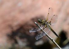 Vier-beschmutzte Abstreicheisen-Libelle im Ruhezustand Stockfotos