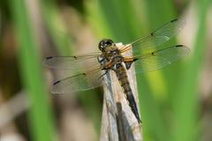 Vier-beschmutzte Abstreicheisen-Libelle - Libellula-quadrimaculata Stockfotos