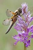 Vier-bevlekte jager/quadrimaculata van Vierfleck/Libellula- Stock Afbeeldingen