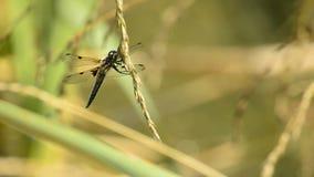 Vier-bevlekte Schuimspaan, Libellula-quadrimaculata stock videobeelden