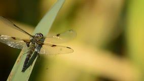 Vier-bevlekte Schuimspaan, Libellula-quadrimaculata, libel stock video