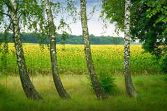Vier Birken auf einem Hintergrundfeld von Sonnenblumen Lizenzfreie Stockfotos