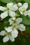 Vier Blackberry-Blüten zwei Knospen Lizenzfreie Stockfotos