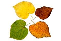 Vier bladeren van de hoge resolutieherfst van lindeboom Royalty-vrije Stock Afbeeldingen