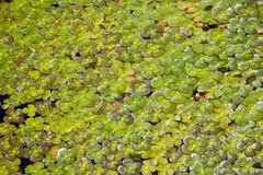 Vier Blatt-Klee-Wasserpflanze Lizenzfreies Stockbild