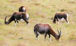 Vier Blesbok, das auf Dy Windy Winter Grassland einzieht Lizenzfreie Stockbilder