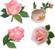 Vier bloei van theerozen op wit vector illustratie