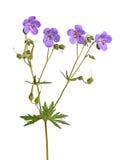 Vier Blumen einer purpurroten Pelargonienkulturvarietät auf Weiß Stockfotos