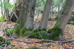 Vier bomen in groen mos, de herfstbos stock foto's
