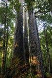 Vier bomen van zustersKauri, Northland, Nieuw Zeeland. Royalty-vrije Stock Foto