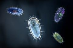 Vier bunte protozoons oder einzelliger Organismus Lizenzfreie Stockfotos
