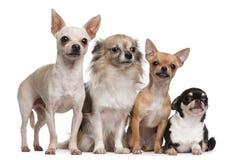 Vier Chihuahuas Royalty-vrije Stock Foto's