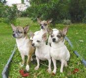 Vier chihuahuas Royalty-vrije Stock Afbeeldingen