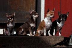 Vier Chihuahuas gezet op een steentrap Stock Afbeeldingen