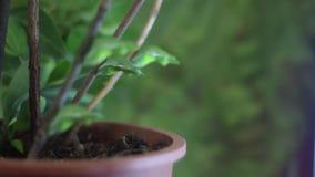 Vier chrysalises van gemeenschappelijke mormoonse vlinder stock video