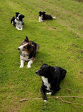 Vier Collien auf Gras Lizenzfreie Stockfotos