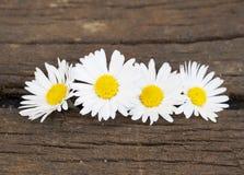 Vier Daisy in de lente Stock Afbeeldingen