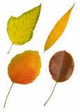 Vier de herfstbladeren op wit Stock Foto