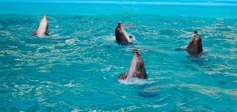 Vier dolfijnen die hulahoepels roteren Royalty-vrije Stock Foto