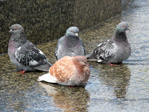 Vier duiven die close-up zitten. Stock Fotografie