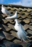 Vier Duiven op het dak Royalty-vrije Stock Foto's