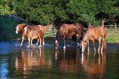 Vier durstige Pferde auf dem Trinkwasser des Sees stockbild