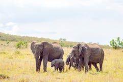 Vier Elefanten, die weg in die Savanne des Masais Mara Park herein sich bewegen stockfoto