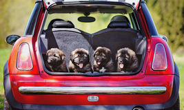 Vier entzückende Welpen in einem Autokofferraum Lizenzfreies Stockbild