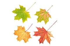 Vier esdoornbladeren Stock Afbeelding
