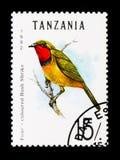 Vier-farbiges Bushshrike (Telophorus-quadricolor), Vögel serie, c Lizenzfreie Stockfotos