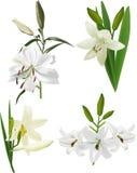 Vier geïsoleerde witte leliebloemen Stock Afbeeldingen
