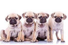 Vier gebohrte Moppwelpenhunde Lizenzfreie Stockbilder