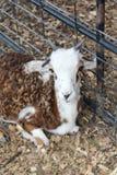 Vier gehörnte Ziege Nord-Texas Lizenzfreie Stockbilder