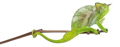 Vier-gehoornd Kameleon, quadricornis Chamaeleo Stock Afbeeldingen