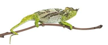 Vier-gehoornd Kameleon, quadricornis Chamaeleo Royalty-vrije Stock Afbeelding