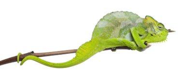 Vier-gehoornd Kameleon, quadricornis Chamaeleo Royalty-vrije Stock Foto's