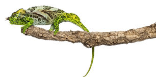Vier-gehoornd Kameleon, quadricornis Chamaeleo Royalty-vrije Stock Foto