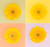 Vier gelbe Gänseblümchen auf Pastellquadraten Lizenzfreies Stockbild